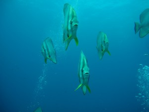Bat Fish - Descent Line