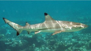 Black Tip - Shy Shark