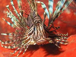 Common Lionfish - Coral Garden