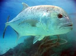 Giant Trevally - Dive Phuket Today