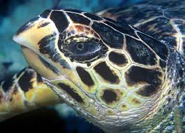 Hawksbill Turtle - Phi Phi Islands