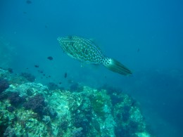 Whaleshark - Dive Phuket Today