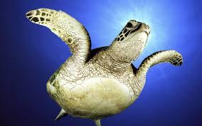 Turtle - Racha Yai