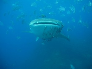 Whaleshark - Big Kiss