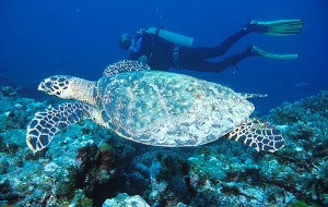 Diver and Turtle at West of Eden, Similan Islands.