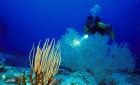Diver Gorgonia Seawhip