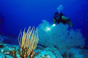 Diver with Gorgonia Seawhip at Boulder City