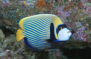 Emperor Angel Fish at Shark Fin Reef, Similan Islands Thailand.