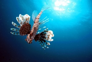 Lion Fish at Similan Islands