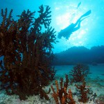 Cabbage Coral and Diver at Deep Six Similan Islands